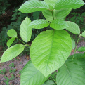 We Still Have a Chance to Stop Kratom Prohibition – And the DEA Actually Wants to Hear Your Thoughts